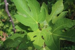 Fig tree,healthy,green leaves grow well. Stock Image