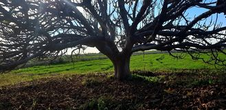 Free Fig Tree In Autumn Stock Photography - 167865512