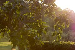 Fig Tree In The Backlight Royalty Free Stock Photo