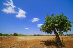 Fig tree in the landscape of Salento Stock Images