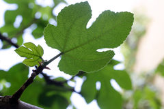 Fig tree leaf Stock Photo
