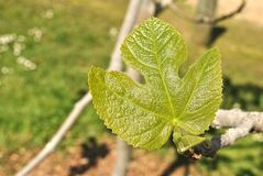 Fig tree leaf Stock Photography