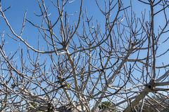 Fig Tree leafless in winter Stock Photo