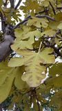 Fig tree. And leafs in the garden stock photography