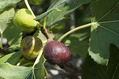 Fig on tree between the leaves Stock Images