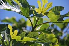 Lush green leaves against a light blue sky Stock Photos