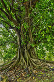 Fig tree in Martinique Stock Images
