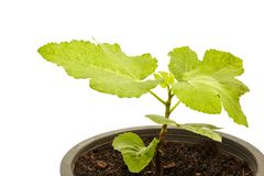 Fig Tree Panache with fruits in pot on white. Set Fig Tree Panache with fruits in pot isolated on white stock image