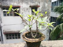 Fig tree pre-bonsai royalty free stock image