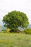 The fig tree on the roof Stock Images