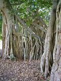 Fig tree roots #2. The root system of a single Fig tree Stock Images