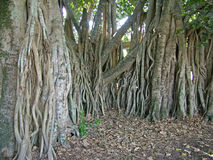 Fig tree roots. The root system of a single fig tree Stock Photography
