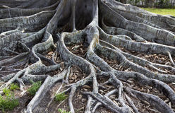 Fig Tree Roots. Roots of a Mysore Fig Tree in Florida Royalty Free Stock Photos
