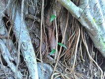 Fig tree roots Royalty Free Stock Images