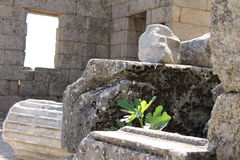 Fig tree in Ruins of ancient ancient city of Labranda Royalty Free Stock Photos