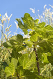 Fig Tree Royalty Free Stock Photo