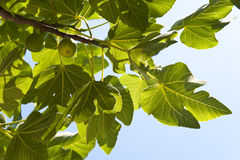 Fig Tree Royalty Free Stock Photos