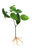 Fig tree seedling Royalty Free Stock Images