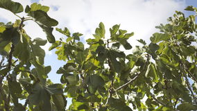 Fig tree sky clouds light wind. A fig tree gently shaken by the wind. Some clouds on the blue sky above us. Location: southern Italy, spring-summer stock video footage
