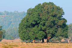 Fig tree and spotted deers Stock Images