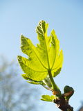 Fig-tree in spring Royalty Free Stock Photos