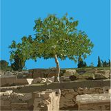 Fig tree in the summer on ancient ruins. Fig tree Ficus carica L. in the summer on ancient ruins, the color vector image Royalty Free Stock Photo