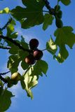 Fig tree. T and leaves Stock Image