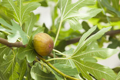 Fig on tree Royalty Free Stock Image