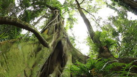 Fig tree - Temperate Rainforest Australian Landscape stock video footage