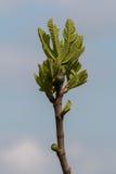 Fig tree top Stock Photo