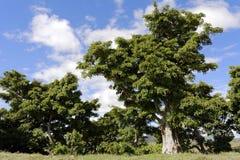 Fig tree Royalty Free Stock Photos
