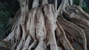Fig tree trunk Stock Images