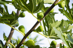 Fig Tree 2 Stock Image