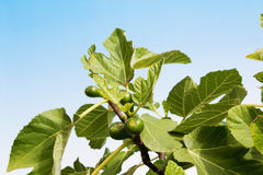 Fig tree with unripe figs, close up Royalty Free Stock Image