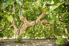 Fig tree in vegetation. Fig tree in complete vegetation in the summer season Stock Photography