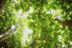 Fig tree in vegetation. Fig tree in complete vegetation in the summer season Royalty Free Stock Images