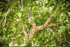 Fig tree in vegetation. Fig tree in complete vegetation in the summer season Stock Images