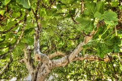 Fig tree in vegetation. Fig tree in complete vegetation in the summer season Stock Photos
