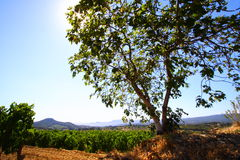 Fig tree in vineyard Royalty Free Stock Photography