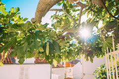 Fig trees, small fruits. Ripening figs on tree Royalty Free Stock Photography