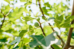 Fig trees, small fruits. Ripening figs on tree Stock Image