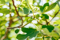 Fig trees, small fruits. Ripening figs on tree Stock Photo