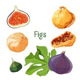 Fig types of plant dried and fresh poster vector illustration. Fig types of plant dried and fresh poster with headline title. Fleshy fruit with many seeds inside Royalty Free Stock Image