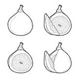 Fig. Vector Illustration Hand Drawn Fruit Cartoon Art Stock Photography
