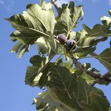 Fig on the vine. Closeup of a fig in a green Mediterranean garden Stock Images