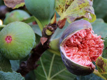 Fig.vruchten op een boom Stock Afbeelding