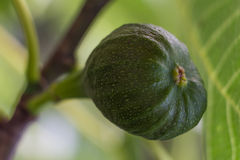 Fig. Youg fig growing on a tree in the vegetable garden stock photography