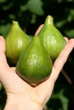 fig zieleni ręka trzy Obrazy Stock