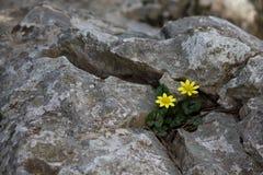 Figa jaskier (Ficaria verna) zdjęcie stock