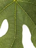 Figa liścia szczegół odizolowywający na bielu Fotografia Royalty Free